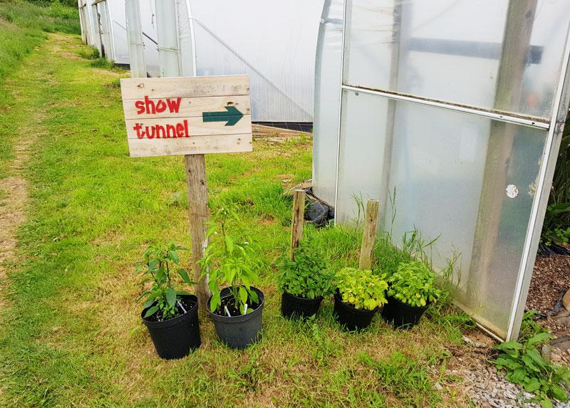 devon chilli farm show tunnel of chilli plants